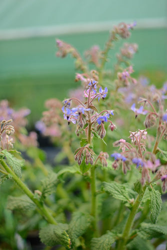 Borage: Blue (Borago officinalis)