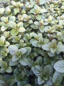Mint: Chocolate (Mentha x piperita f. 'Citrata Chocolate') - The Culinary Herb Company