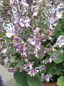 Sage: Clary (Salvia sclarea) - The Culinary Herb Company