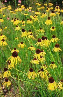 Echinacea Paradoxa (Yellow Coneflower) - The Culinary Herb Company