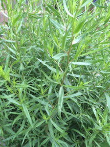 Tarragon, French (Artemisia dracunculus French)