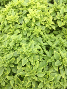 Basil: Greek (Ocimum minimum)