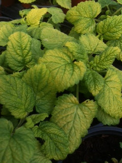 Balm: Lemon Balm All Gold (Melissa officinalis 'All Gold') - The Culinary Herb Company