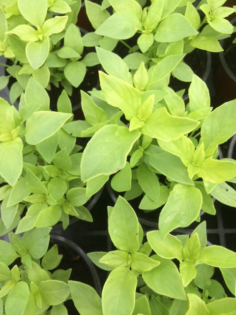 Basil, Lemon Basil (Ocimum x citriodorum Lemon)