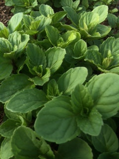 Mint, Red Mint (Mentha smithiana)