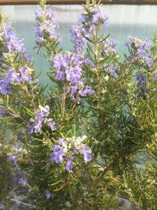 Rosemary: Green Ginger (Rosmarinus officinalis 'Green Ginger') - The Culinary Herb Company