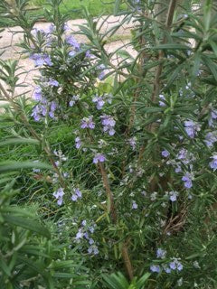 Rosemary: Officinalis (Rosmarinus officinalis)