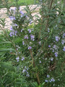 Rosemary, Officinalis (Rosmarinus officinalis)