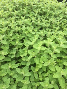 Mint, Strawberry Mint (Mentha x piperita Strawberry)