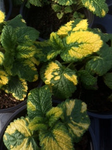 Balm: Lemon Variegated (Melissa officinalis 'Aurea')