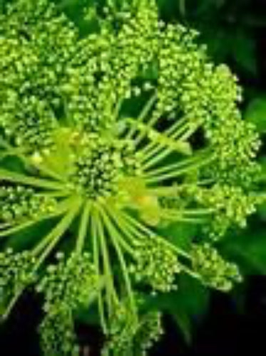 Angelica (Taiwaniana) - The Culinary Herb Company
