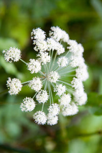 Angelica: Wild (Angelica sylvestris) - The Culinary Herb Company