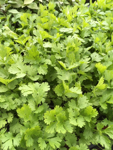 Anise (Pimpinella anisum) - The Culinary Herb Company