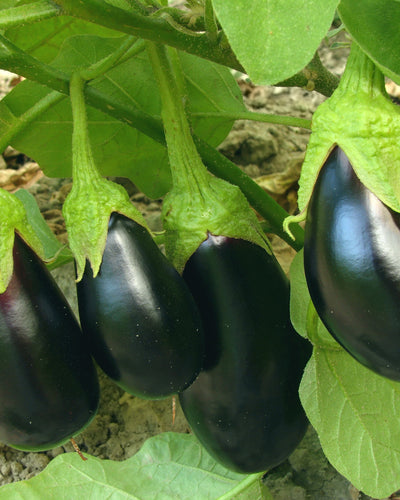 Aubergine (Moneymaker F1)