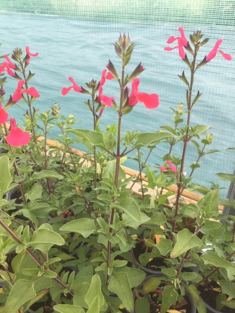 Sage, Blackcurrant (Salvia microphylla)