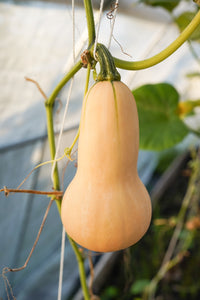 Butternut Squash (Hunter F1)
