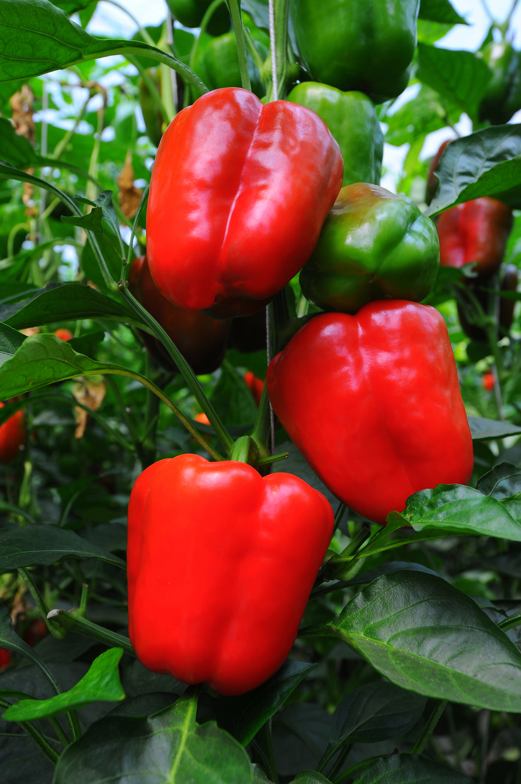 Sweet Pepper (Californian Wonder)