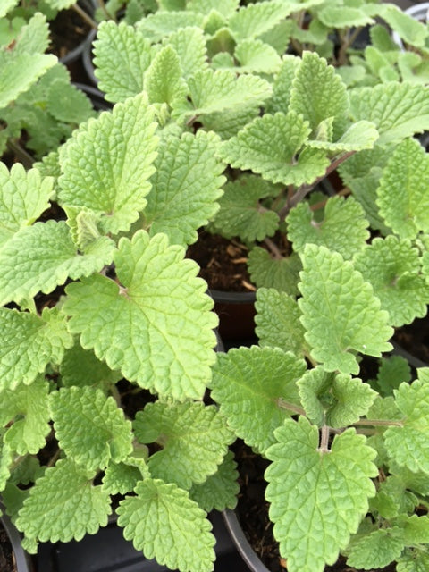 Catnip, Lemon (Nepeta cataria 'Citriodora)