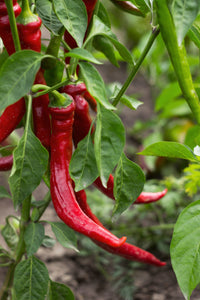 Chilli Pepper (Cayenne)
