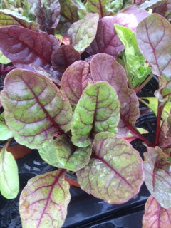 Chard, Red Chard (Beta vulgaris)