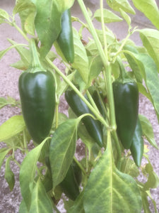 Chilli Pepper (Jalapeno)