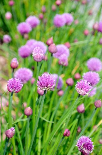 Chives (Allium schoenoprasum) - The Culinary Herb Company