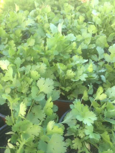 Coriander (Coriandrum sativum) - The Culinary Herb Company