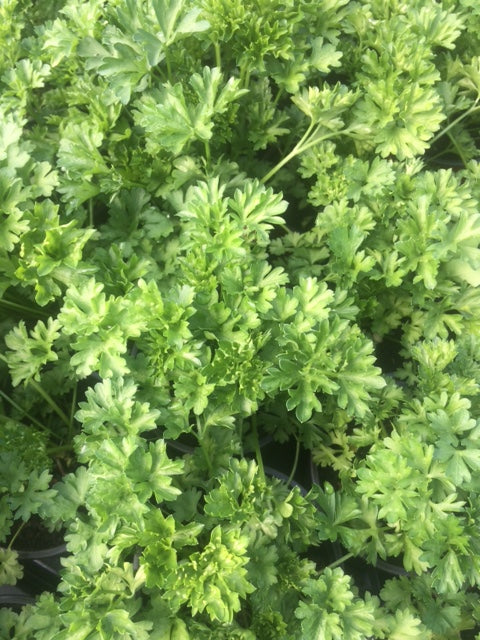 Parsley, Curled (Petroselinum crispum)