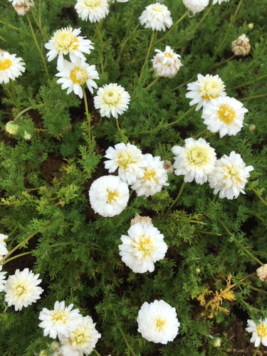 Chamomile: Double Flowering (Chamaemelum nobile 'Flore Pleno') - The Culinary Herb Company
