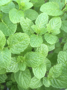 Mint: English Lamb (Mentha spicata 'English Lamb') - The Culinary Herb Company