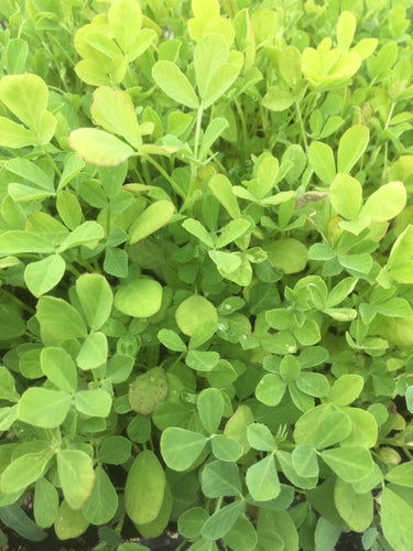 Fenugreek (Trigonella foenum-graecum) - The Culinary Herb Company