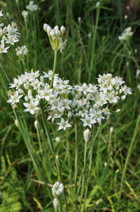 Chives: Garlic (Allium tuberosum)