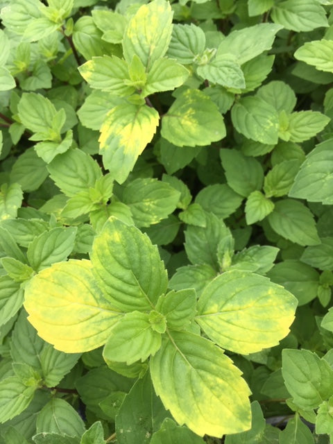 Mint: Ginger (Mentha x gracilis)