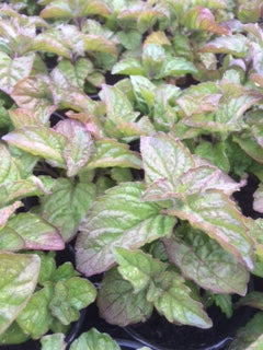 Mint, Grapefruit Mint (Mentha x piperita Citrata Grapefruit)