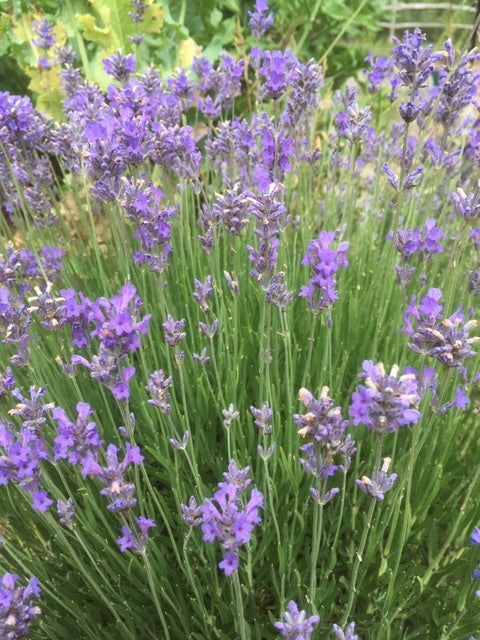 Lavender: Munsted (Lavandula angustifolia 'Munsted') 12cm