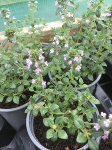 Thyme: Lemon (Thymus citriodorus) - The Culinary Herb Company