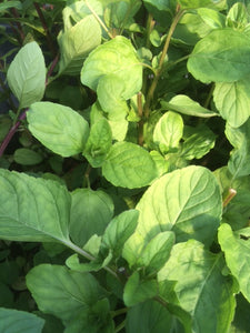 Mint, Lime (Mentha x piperita f. Citrata Lime)