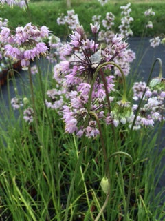 Nodding Onions (Allium cernuum) - The Culinary Herb Company