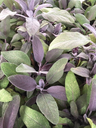 Sage: Purple (Salvia officinalis 'Purpurascens') - The Culinary Herb Company
