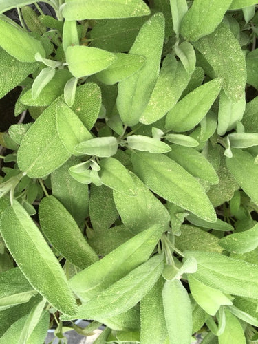 Sage (Salvia officinalis) - The Culinary Herb Company