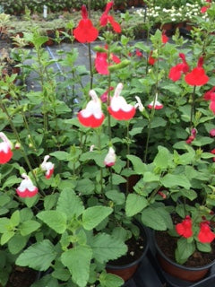 Sage: Salvia Hot lips (Salvia x jamensis 'Hot Lips')