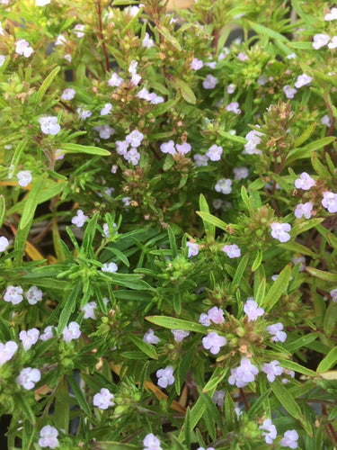 Savory: Summer (Satureja hortensis) - The Culinary Herb Company