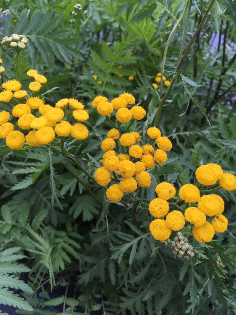 Tansy (Tanacetum vulgare) - The Culinary Herb Company
