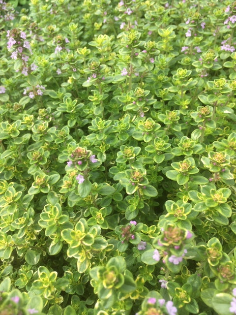 Thyme: Lemon Variegated (Thymus citriodorus 'Variegata') - The Culinary Herb Company