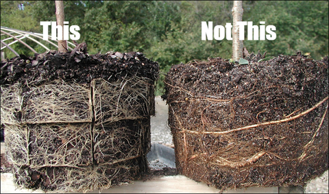 Fibrous Root System vs. Larger, Circling Roots