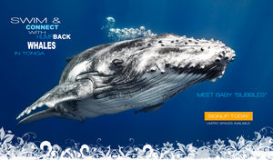 Come swim with these gentile giants we call Humpback Whales in stunning Tonga