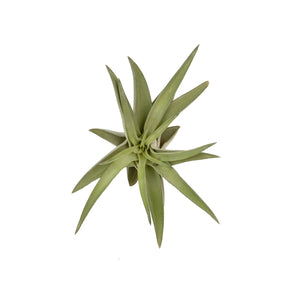 Tillandsia Abdita Red/Green 8cmx8cm