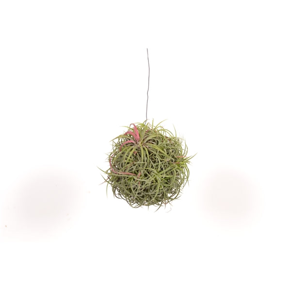 Tillandsia Magic ball 15cmx20cm