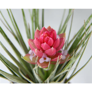 Tillandsia Cotton candy 5,5cmx10cm