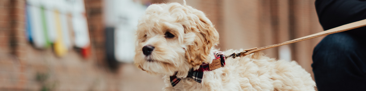 Cockapoo puppy wearing a navy/red/green/white collar and bow tie with a label that reads Safe and Hound, attached to a tan leash, with a brick building in background.